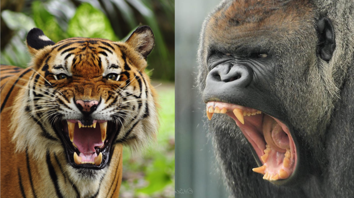 Professors decide: Who would win in a fight, a tiger or a gorilla?